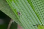 Salticidae - 11 mm - Quezon - 1.4.15