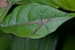 Pisauridae - Mâle - 11 mm - Quezon - 1.4.15