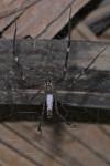 Psechridae - 25 mm - Quezon - 3.1.14