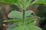 Salticidae - 7 mm - Hung Duan - 11.12.12