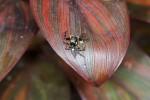 Salticidae - Plexippus sp - Plexippus petersi - Mâle - 10 mm - May It - 17.4.15