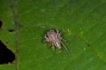 Salticidae - 9 mm - Quezon - 19.4.15