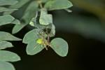 Sparassidae ? - 4 à 5 mm - Romblon - 23.4.15