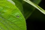Salticidae - 3 mm - Romblon - 24.4.15