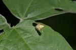 Oxyopidae - 5 mm - Romblon - 24.4.15