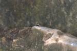 Salticidae - Mâle - 5 mm - Romblon - 25.4.15