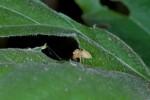 Salticidae - 5 mm - Romblon - 5.5.15