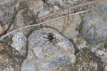Salticidae - 6 mm - Romblon - 5.5.15