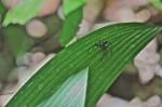 Salticidae - 8 mm - Quezon - 3.5.13