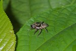 Salticidae - 7 mm - Quezon - 8.5.15