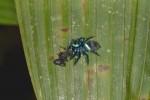Salticidae - 10 mm - Quezon - 8.3.15
