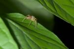 Salticidae - 8 mm - Quezon - 8.5.15