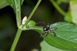 Salticidae - 12 mm - May It - 26.5.15