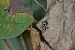 Salticidae - 9 mm - Lucena - 1.3.14