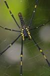 Nephila pilipes - 30 mm - May It - 3.3.14