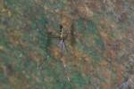 Pholcidae sp - 10 mm - Mindoro - 14.10.15