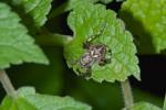 Araneidae sp - 8 mm - Mindoro island - 22.10.15