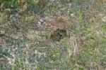 Salticidae sp - 5 mm - Mindoro - 22.10.15