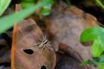 Lycosidae - 9 mm - May It - 17.4.15