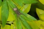 Lycosidae - 10 mm - Sagada - 10.9.14