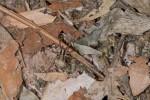 Lycosidae - 8 mm - May It - 20.5.15