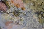 Dolomedes mizhoanus probable - 13 mm - Quezon - 1.4.15