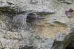 Nephilengis malabarensis - Femelle - Palaisdan - 28.10.14