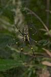 Nephila pilipes - 47 mm - Sibuyan - 3.5.15