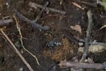 Cette Pompilidae vient de rentrer une petite araignée paralysée dans ce trou creusé dans le sol , elle déposera ensuite ses oeufs sur sa proie, à leur naissance les larves s'en nourriront