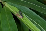 L'araignées paralysée, amputée de 6 de ses pattes servira de nourriture aux larves de cet Hymenoptère May It - 25.5.15