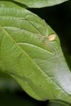 Sparassidae - 6 mm - Bulusan lake - 4.11.15