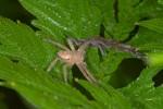 Sparassidae - 10 mm - Bulusan lake - 6.11.15