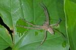 Sparassidae - 10 à 11 mm - Bulusan lake - 6.11.15