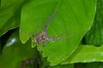 Sparassidae sp - 17 mm - Bulusan lake - 8.11.15