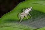 Telamonia sp - Femelle - 12 mm - Quezon National Park - 27.8.14