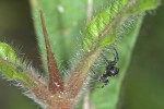 Salticidae - 4 mm - Bulusan lake - 7.1.16