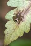 Salticidae - 7 mm - Bulusan lake - 7.1.16
