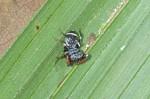 Salticidae - 4 mm - Bulusan lake - 8.1.16