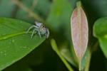 Salticidae - 9 mm - Bulusan lake - 12.1.16