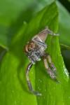 Salticidae - 10 mm - Bulusan lake - 12.1.16