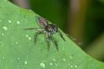 Salticidae - 8 mm - Bulusan lake - 12.1.16