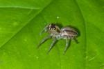 Salticidae - 10 mm - Bulusan lake - 16.1.16