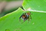 Salticidae - 7 mm - Bulusan lake - 17.1.16