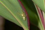Salticidae - 13 mm - Bulusan - 27.1.16