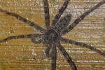 Sparassidae - 18 mm - Bulusan lake - 6.1.16