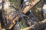 Sparassidae - 9 mm - Bulusan lake - 6.1.16