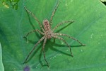 Sparassidae - 13 mm - Bulusan lake - 12.1.16