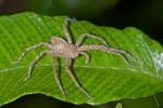Sparassidae - 11 mm - Bulusan lake - 14.1.16