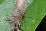 Opiliones - 4 mm - Bulusan lake - 17.1.16