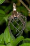 Exuvie de Sparassidae - 11 mm pour le céphalothorax - Bulusan lake - 27.1.16